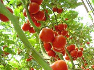 西紅柿, 黃瓜,豆角等蔬菜 批發 零售