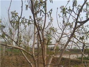 卖麻核桃树和麻核桃