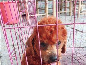 出售家养贵宾犬一只  母