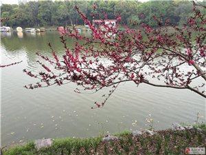 三月云樱在盛开