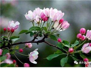 采桑子。岳家湖苹果花文化节