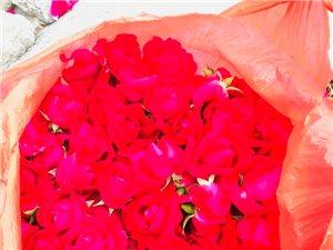 采摘玫瑰花