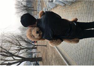 巨型贵宾犬找有爱心人家