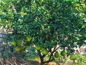 出售柚子樹