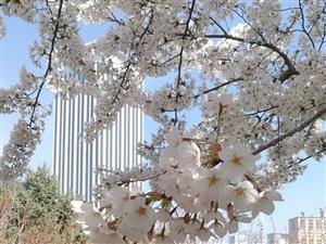 冰城赏樱花