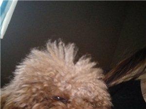 出售一只泰迪犬