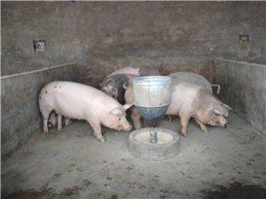 活豬,豬肉  出售