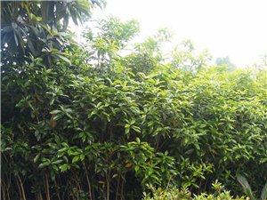 大量桂花樹賤賣