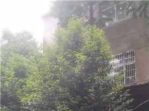 茶花树!狮子头!大红袍有5棵!栽种了15年!4.5米高,腊月开花到二月! 价格面议!