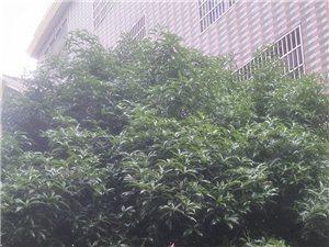 桂花树,3棵5米高! 需要的有开花视频! 花多味香浓!价格面议!