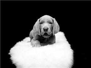 急售德国魏玛猎犬