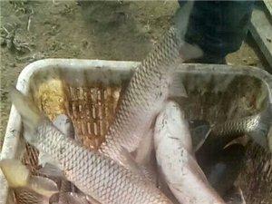 大量出售各种鱼苗