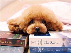 本人爱狗人士,求购一只泰迪