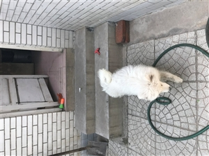 此狗出售,没时间养没洗澡有点脏,疫苗都扎完了,有想法的价格好说