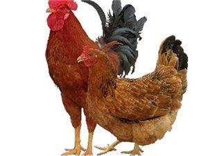 批发◆零售各种鸡,(饭店可是依然没有被腐蚀透预定可杀好送上门)