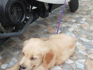 威尼斯人平台出售金毛小狗一只,狗狗非常可爱,特别听话,长耳朵,长毛,特别欢实 有需要的联系电话  1352...