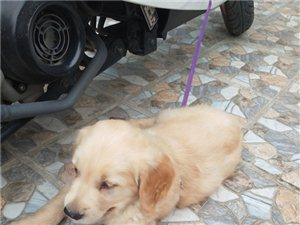威尼斯人平台出售金毛小狗一只