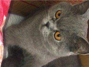 自己家繁育英短藍貓出售