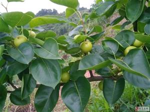 关于梨木虱问题,请问是否会传染黄龙病病毒,望高人指点!