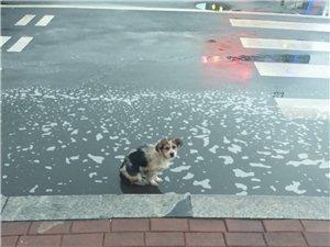 渤海八路和黄河六路十字路口发现迷路的狗狗