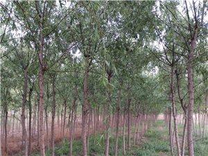 绿化垂柳直径6――11公分