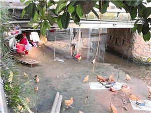 两渡河昌盛花园门前桥底下长期有人养鸡
