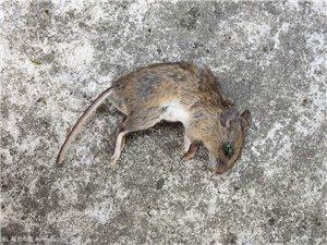 你還在為家里面有老鼠而煩惱嘛?那就快來找我吧!