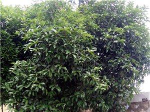出售桂花树