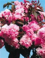 出售五到六公分樱花树