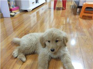兩個月金毛狗狗,價格可以商量