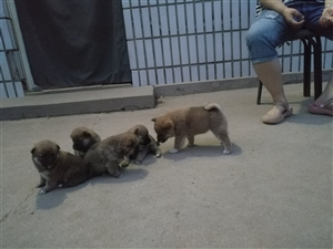 出售自家繁殖柴犬宝宝