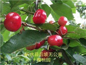 沂水县后坡露天无公害大樱桃上市啦