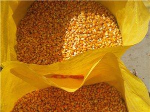 出售农家种植的玉米籽