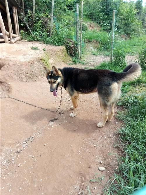 家养大狼狗出售,一年多的大公狼狗,身高70公分,体重80斤左右,很猛很魁梧,看果园或猪场、鸡场首选叫...