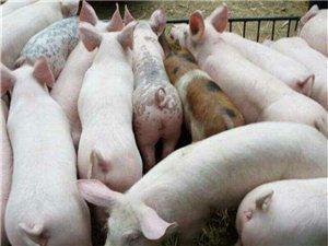长期低价出售自养母猪生产三元杂小猪苗,杜洛克黑猪仔