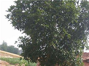 出售十年桂花树