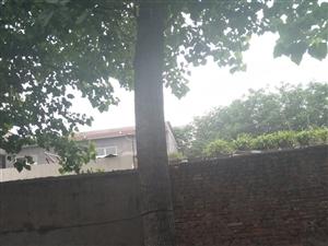 自家8棵桐树低价处理,价格面议