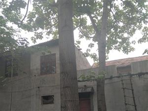 自家种的8棵大桐树低价处理