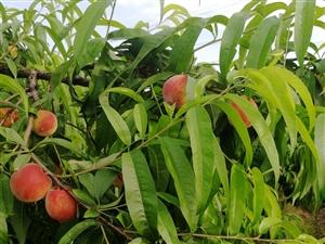 蜜桃成熟季
