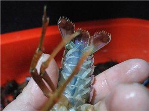 小龙虾批发,一手货源,自家养殖场
