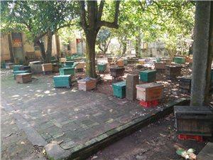 大地蜂业百群中蜂热销中