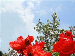图片拍摄于我庄园假山上种植的玫瑰和蔷薇