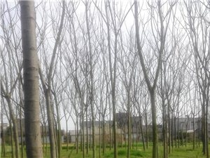 出售南树、银杏树