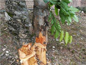 泸州英伦城邦有人砍掉小区绿化树,严重破坏小区环境