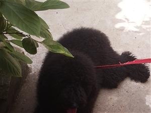 巨型贵宾犬出售