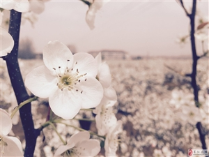 农学院梨园的梨花