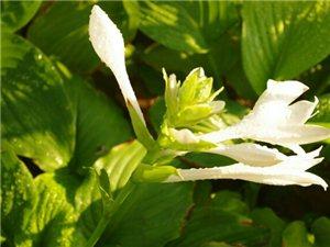 出售白玉簪秧苗