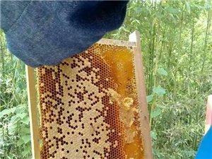 出售土蜂小蜜