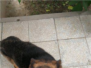 2岁德国黑背公狗出售