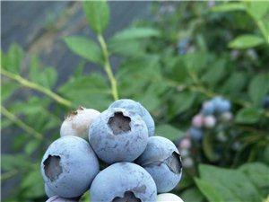好消息,迎六一,小娃娃儿摘蓝莓免费啦!